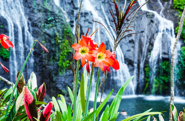 Fototapeta Wodospad Hippeastrum blooms on the background of a mountain waterfall on the island of Bali