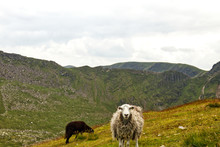 Sheep In Mountains, Herdwick S...