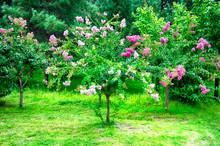 Flowering Crepe Myrtle, Lagerstroemia Indica