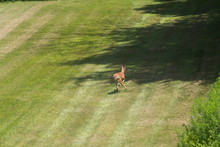 Fawn White Tailed Deer Running Across The Lawn
