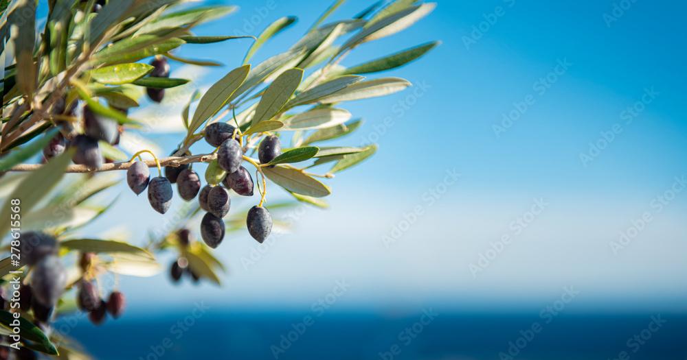 Fototapety, obrazy: Olivenbaum am Meer Panorama