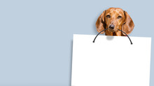 Dachshund Dog Holding White Copy Space Paper In Mouth Against Blue Paint Wall Background Front Closeup View Of Animal Pet Face Portrait And Empty Blank Letter Design Template Mockup Wide Photo