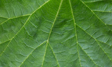 Green Macro Background. Fresh Juicy Green Leaves Of The Plant. Long Leaves.