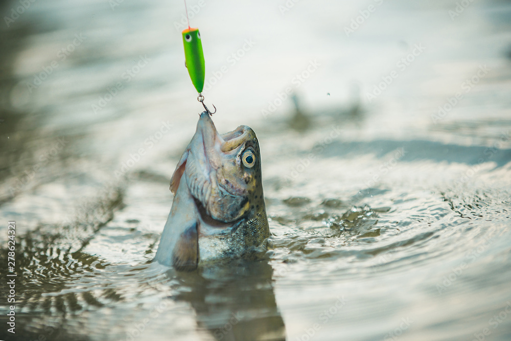 Fototapety, obrazy: Lure fishing. Fishing - relaxing and enjoying hobby. Fishing. Brown trout fish. Still water trout fishing.