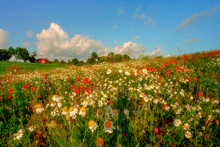 Field Of Ripening Cereal, Poland Around The Town Of Sztum