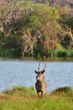 The Waterbuck At Arusha National Park, Tanzania