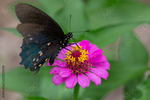Swallowtail_6