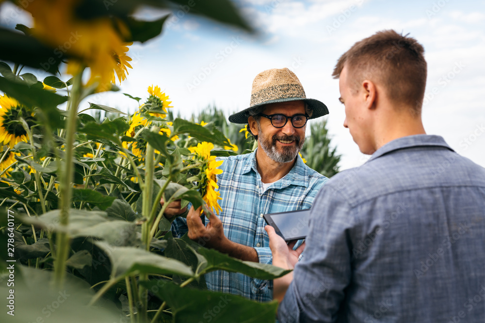Fototapety, obrazy: senior agronomist with his young colleague examining sunflowers in sunflower filed