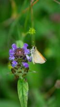British Butterfly, Hairstreak, Copper, Orange And Brown Wings Pollinating Purple, Blue And Green Wildflower