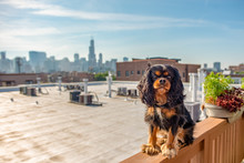 A Beautiful Cavalier King Charles Spaniel Dog Poses Bravely Upon A Ledge In Front Of The Chicago Skyline, On A Rooftop In The City.