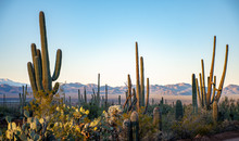 Cactus In The Deserts Of Arizona