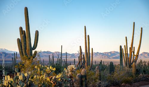 Fotografie, Tablou Cactus in the deserts of Arizona