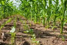 Interseeded Cover Crops Growing Between Rows Of Corn.