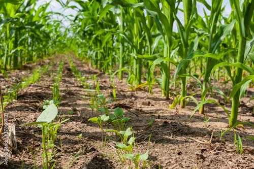 Slika na platnu Interseeded cover crops growing between rows of corn.