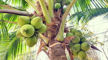 Coconut With Coconuts Palm Tre...