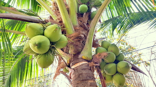 Foto auf Leinwand Palms Coconut with coconuts palm tree are Perennial plant and fruit, coconut bunch on uprisen angle, fragrant coconut, Young Nam-Hom coconut for drinking