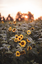 A Field Of Sunflowers Bloom At...