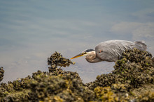 One Great Blue Heron Fishing Near The Rocky River Bank Covered With Algae On A Cloudy Day