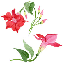 Red Dipladenia Floral Botanical Flowers. Watercolor Background Set. Isolated Mandevilla Illustration Element.