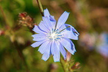 Wild Chicory Flowers In Summer