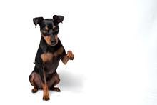 Portrait Hund Zwergpinscher Vor Weißem Hintergrund Der Sitzt Liegt Männchen Macht