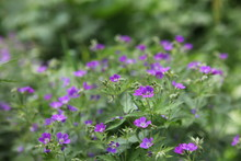 Meadow Greens, Flowering Plant...