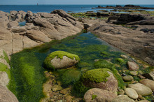 Closeup Of Algae On Rocks In Border Sea In Quiberon Britain France