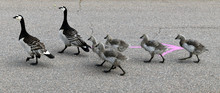 Family Of Barnacle Geese (Bran...