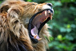 Lion yawn/roar portrait