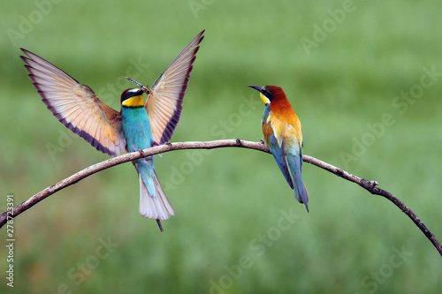 The European bee-eater (Merops apiaster) pair sitting on a thin twig with a drag Wallpaper Mural