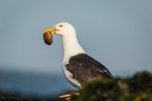 Great Black-backed Gull (Larus...