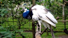 Blue Peafowl Peahen Standing On Tree