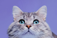 Close Up View Of Funny Smiling Gray Tabby Cute Kitten With Blue Eyes. Pets And Lifestyle Concept. Portrait Of Lovely Fluffy Cat.