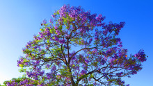 Blue Flowers On Jacaranda Tree...