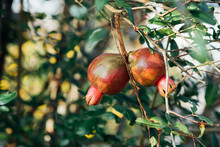 Punica (Pomegranate Or Punica ...
