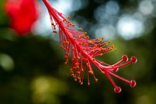 Hibiscus Flower Red Stamen Of A Late Summer Hibiscus Tropical Plant In Bloom. Macro Stamen Pistil -  Single.