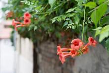 Lovely Orange Bellflowers Of C...