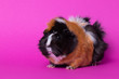 canvas print picture - female guinea pig, sitting, profile view, on pink background, close up