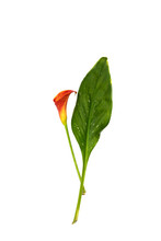 Red Calla Lily With Leaf Isola...