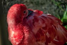 Flamingo  Exotic Brazilian Bird,  With Beak Between Wings To Sleep