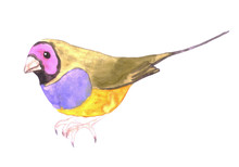 Red Headed Male Gouldian Finch...
