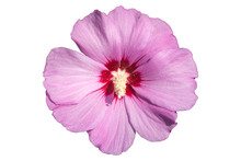 Syrian Ketmia Pink With Deep R...