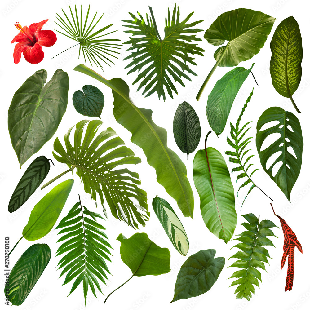 Fototapety, obrazy: More beautiful exotic tropical leaves, isolated leaf background