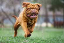 Dogue De Bordeaux Dog Spring