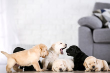 Beautiful Labrador Puppies At Home