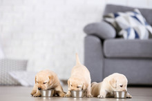 Labrador Puppies Eating Food A...