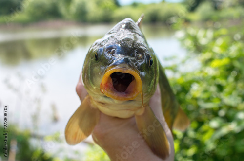 Photo caught mirror carp in hand against the lake