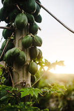 Papayas Growing On Tree