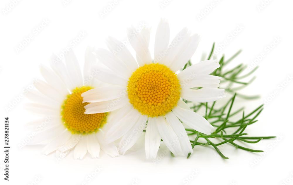 Fototapety, obrazy: Chamomiles on white background