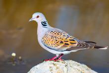 Colorful Dove. Nature Background. Bird: European Turtle Dove. Streptopelia Turtur.